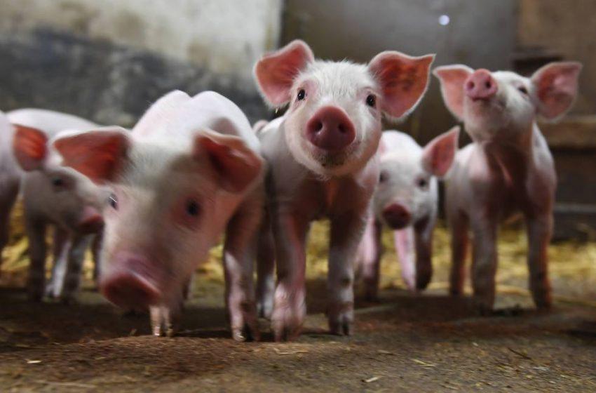 Argentina cierra la importación de carne de cerdo de Alemania por foco de peste porcina africana