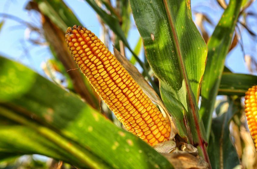 El Gobierno suspendió las exportaciones de maíz para abastecer al mercado interno