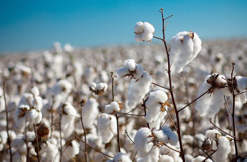Se unieron dos pymes nacionales para mejorar algodón por medio de edición génica