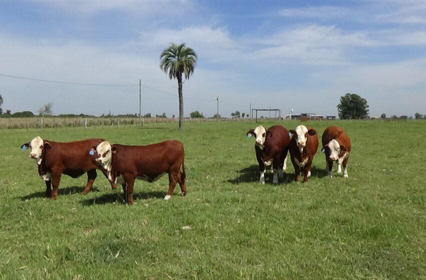 Cabaña El Bromista: Alta genética en Corrientes
