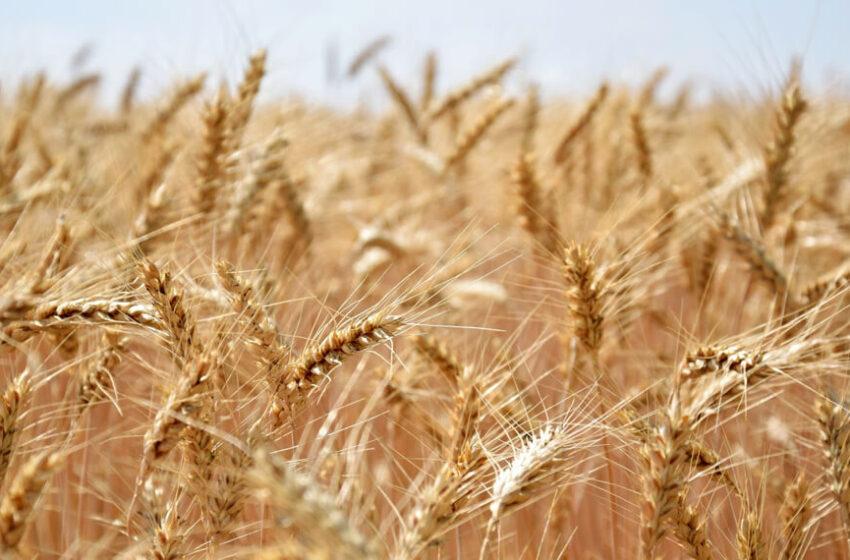 ¿Luces de alerta? Argentina ya tiene casi el 100% del saldo exportable de trigo cubierto