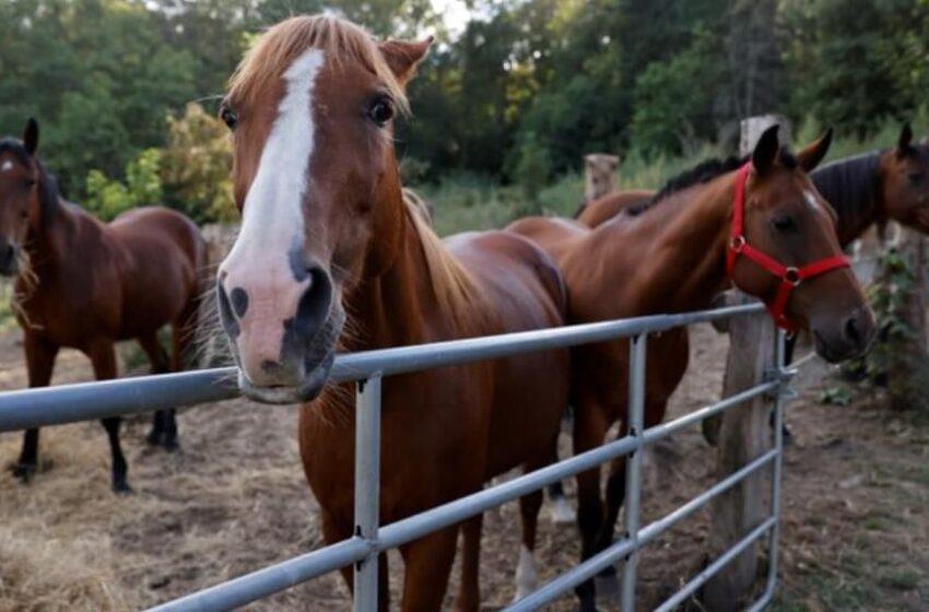 Crece la exportación de caballos vivos para consumo humano a Japón y activistas denuncian malas prácticas