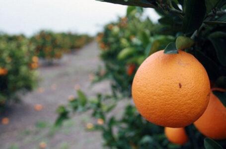 Naranjales, naranjos en el departamento de Salto.Campos de naranjas, frutas / FOTO C. RODRIGUEZ