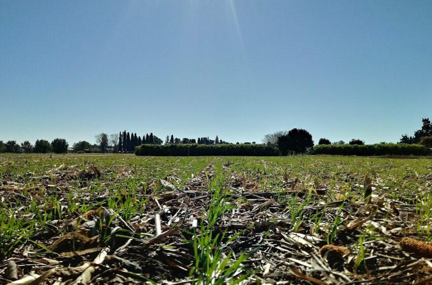 El trigo es el cultivo que más beneficios aporta al sistema