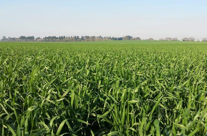Fertilización: apuntes para potenciar el rinde del trigo