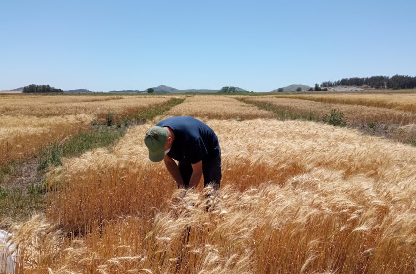 Evalúan un biofertilizante que aumenta el rendimiento del trigo