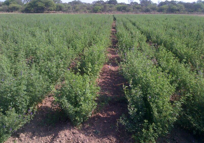 La alfalfa Salinera INTA ya está disponible para la venta