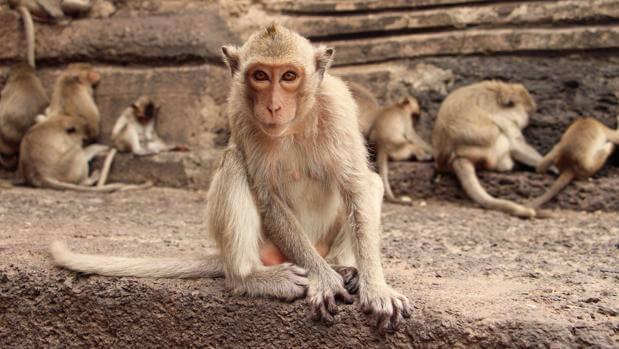"""En alerta: China confirmó el primer humano muerto por el virus del mono """"Herpes B"""""""