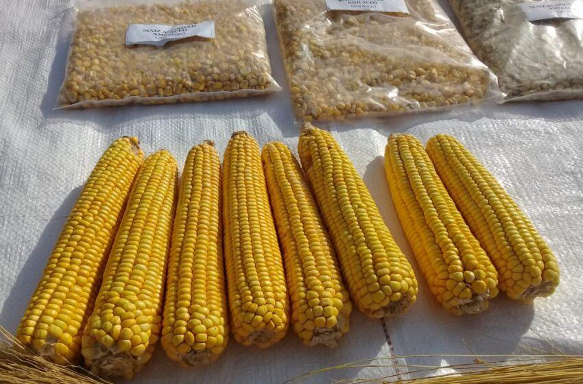 En Formosa, presentan una nueva variedad de maíz amarillo